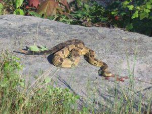 Image of a rattlesnake
